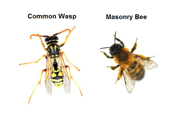 Masonry Bee and Common Wasp